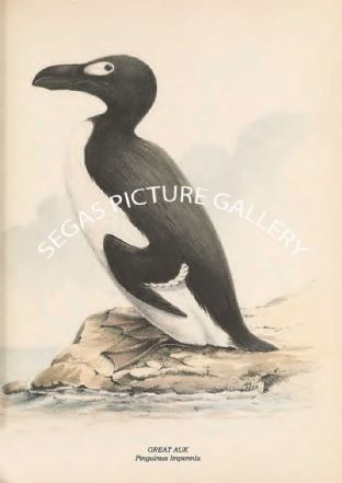 GREAT AUK - Pinguinus Impennis